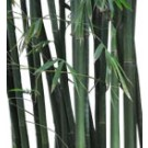 Buy Slender Weaver's Bamboo Palm Tree Medium RealPalmTrees.com Bambusa Textilis Garcilis th