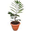 Sugar Palm Tree -  Arenga pinnata Buy Rare Palm (thumb)