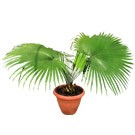 White Elephant Palm Tree - Kerriodoxa elegans 3 Feet (thumb)