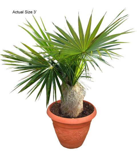 Product: Old Man Palm  Small Palm Tree