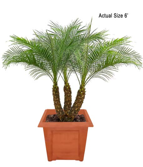 Pygmy Date Palm Tree, Dwarf Date Palm  Phoenix roebelenii  Care Tips